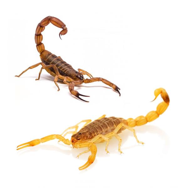 master-prag-controle-de-pragas-servicos-controle-de-escorpioes