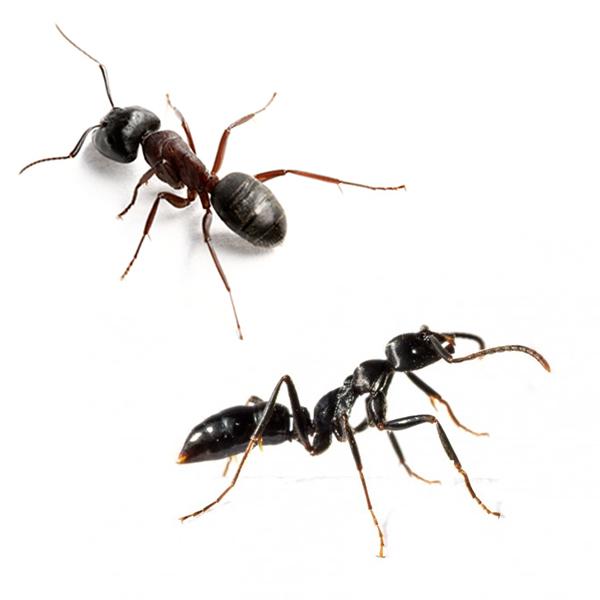 master-prag-controle-de-pragas-servicos-controle-de-formigas