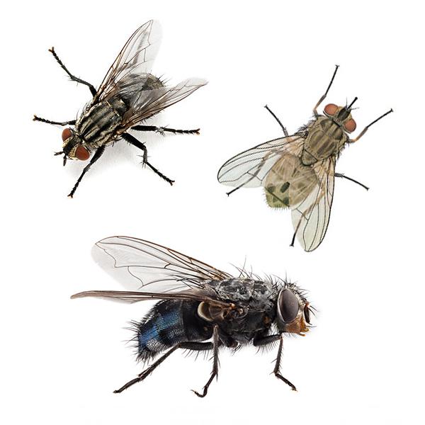 master-prag-controle-de-pragas-servicos-controle-de-moscas