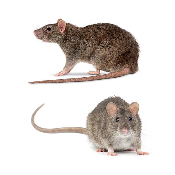 master-prag-controle-de-pragas-servicos-controle-de-roedores